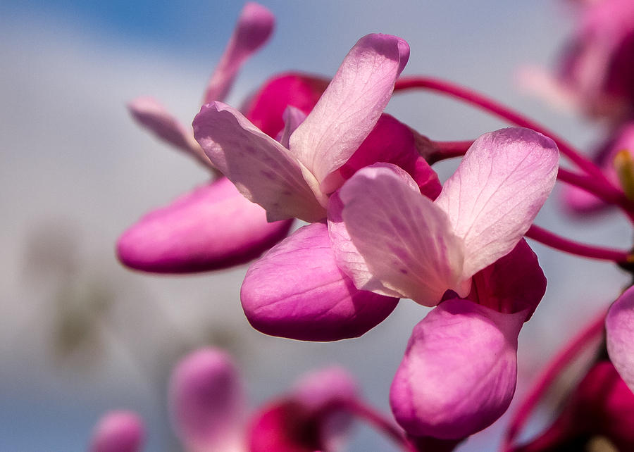 Redbud Photograph - Redbud by Carl Engman