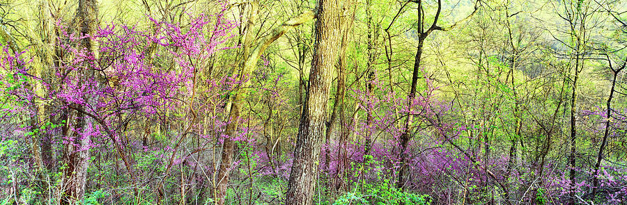 Horizontal Photograph - Redbud Cercis Canadensis Trees by Panoramic Images
