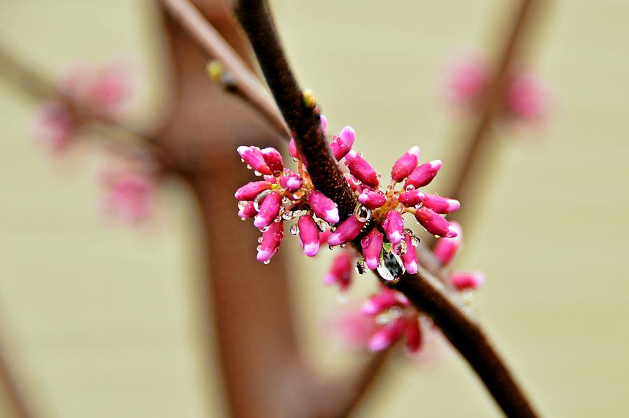 Redbud Photograph - Redbud by David Earl Johnson