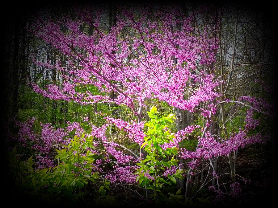 Redbud Photograph - Redbud Detail by Michael L Kimble