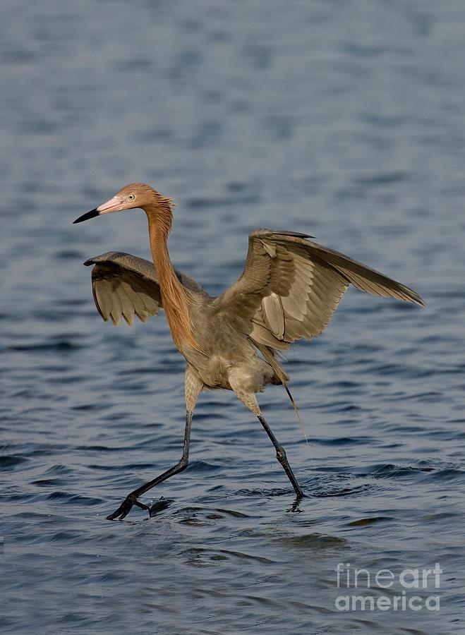 Animal Photograph - Reddish Egret Doing Fishing Dance by Anthony Mercieca