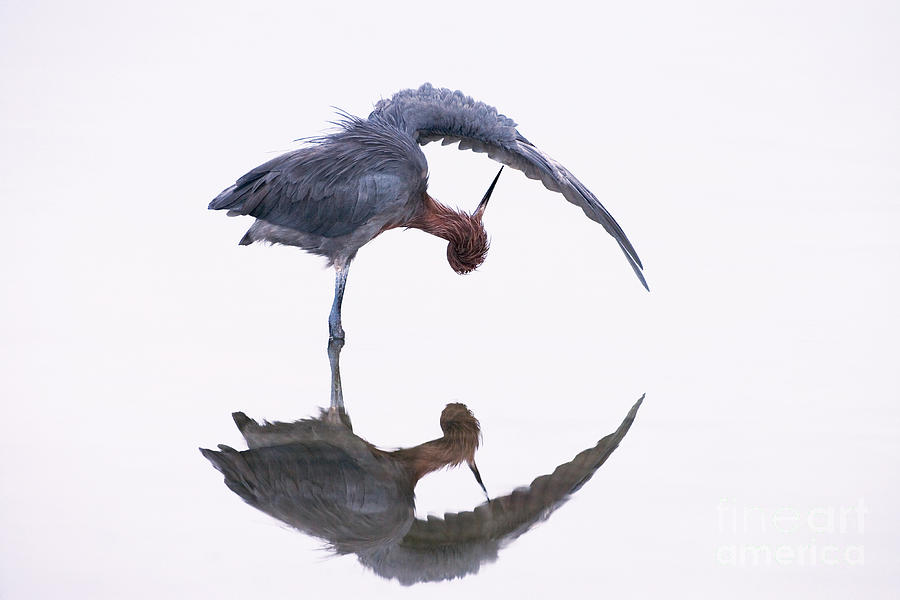Reddish Egret Photograph - Reddish Egret by Marie Read