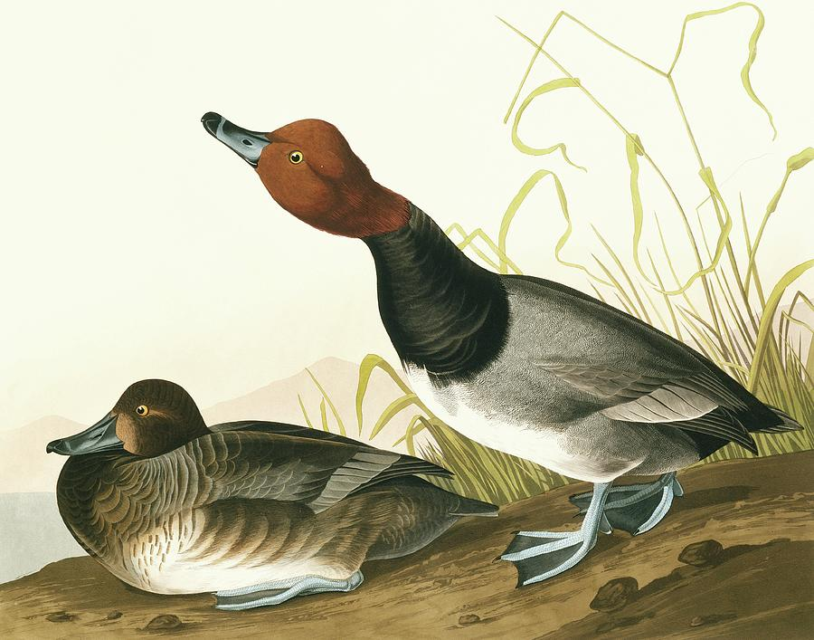 Illustration Photograph - Redhead Duck by Natural History Museum, London/science Photo Library