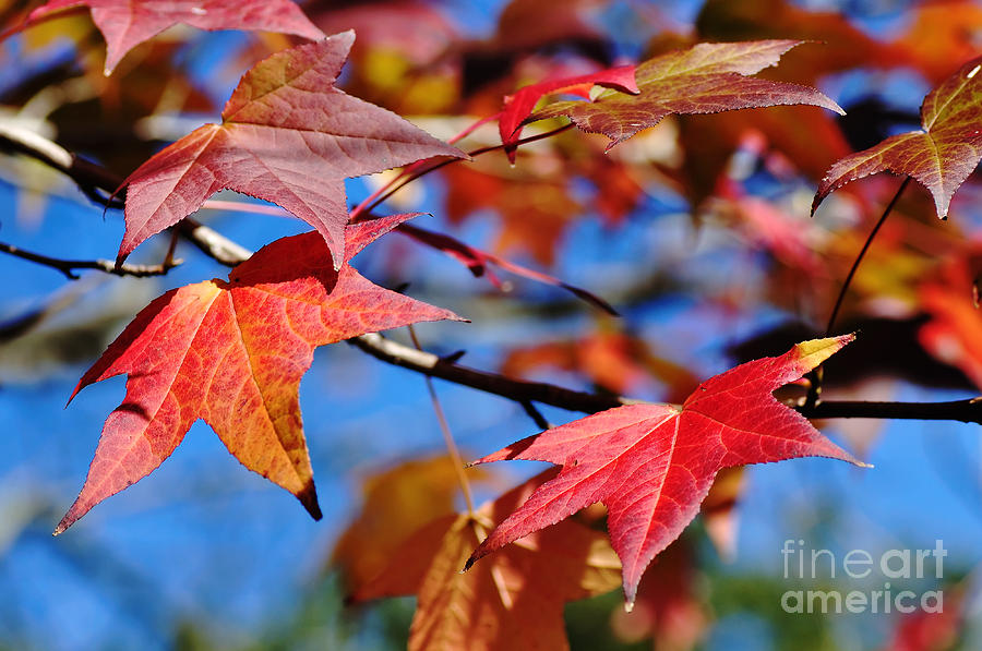 Liquid Amber Photograph - Reds Of Autumn by Kaye Menner