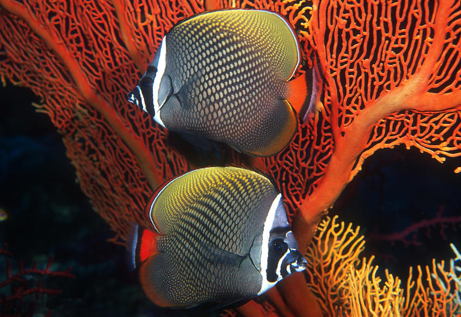 Andaman Sea Photograph - Redtail Butterflyfish by Greg Ochocki