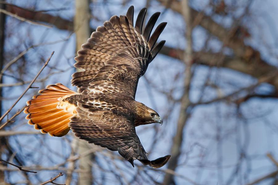 Redtail Hawk Photograph - Redtail Hawk by Bill Wakeley