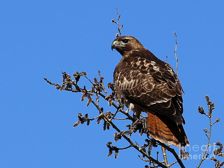 Red-tailed Hawk Photograph - Red-tailed Hawk by Marty Fancy