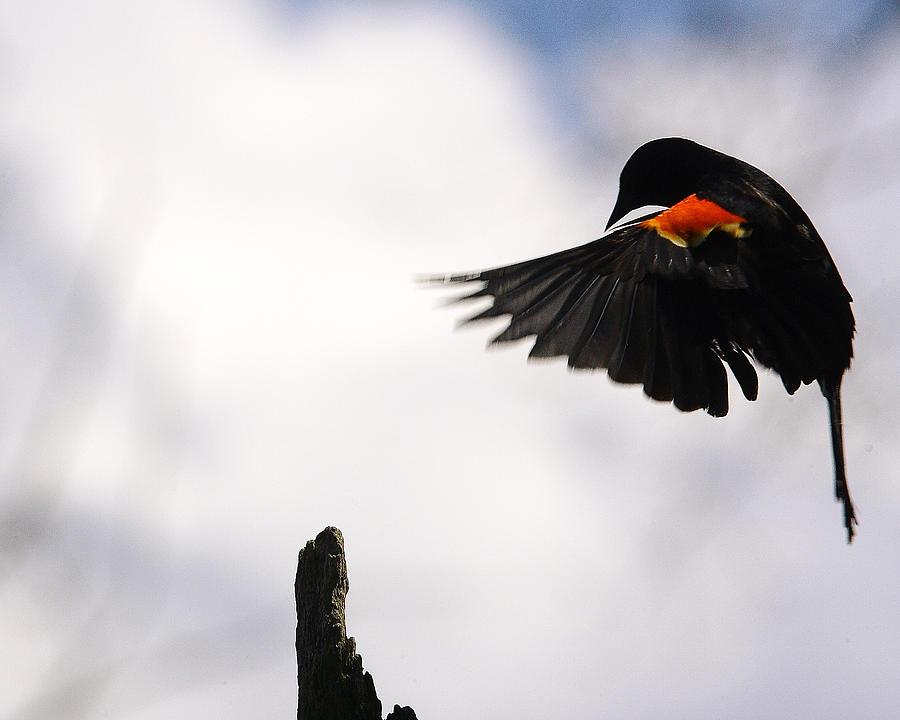 Nature Photograph - Redwing by Dawn J Benko