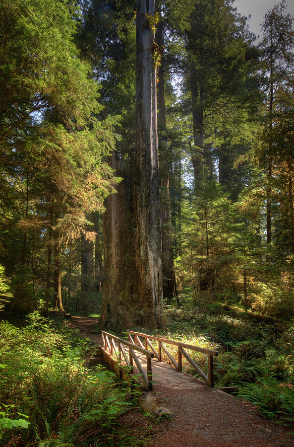 Redwood Forest On A Perfect Spring Day Photograph by Ed Freeman