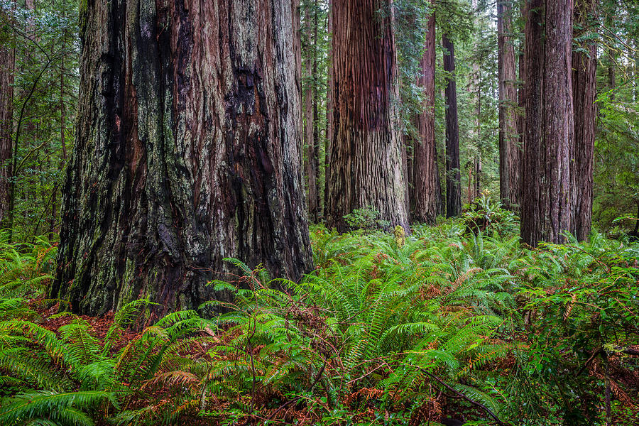 Crescent City Photograph - Redwood Sentinels by Mike  Walker