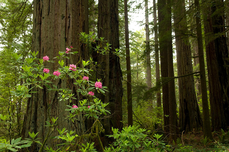 Color Image Photograph - Redwood Trees And Rhododendron Flowers by Panoramic Images