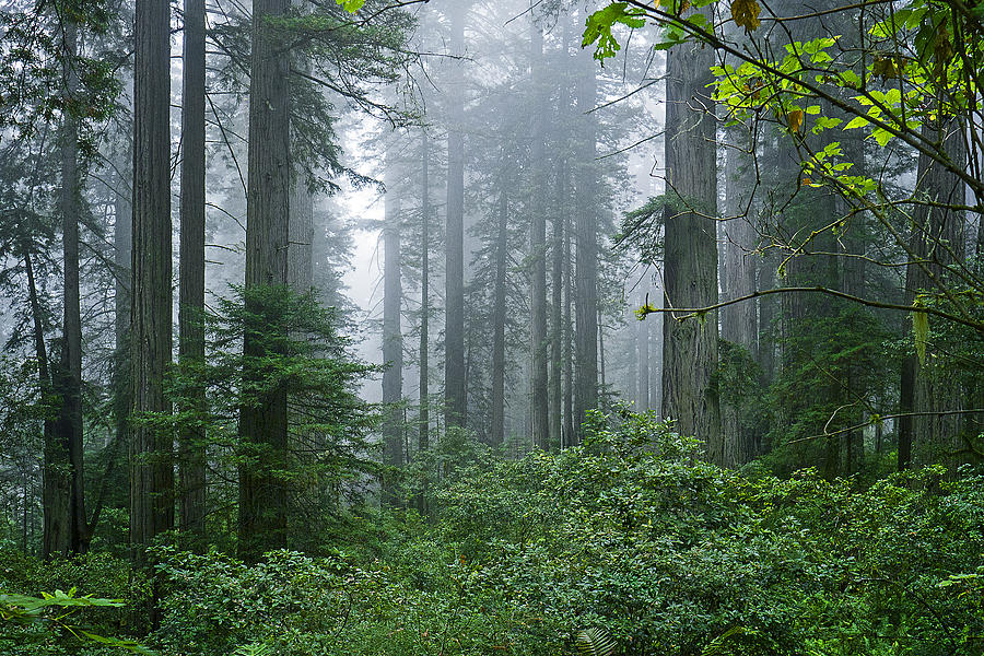 Redwood Trees In Morning Fog Photograph