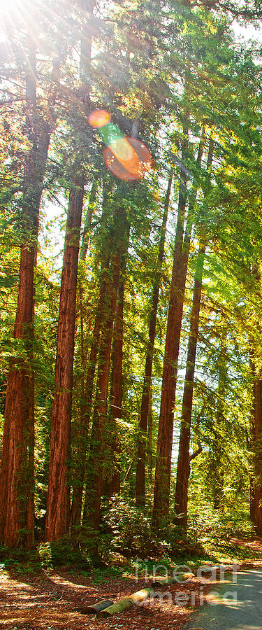 Redwoods Photograph - Redwood Wall Mural Panel 1 by Artist and Photographer Laura Wrede