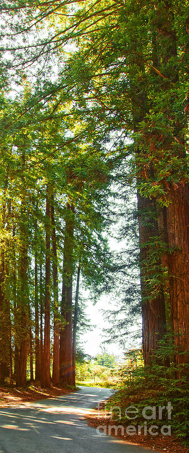 Redwoods Photograph - Redwood Wall Mural Panel 2 by Artist and Photographer Laura Wrede