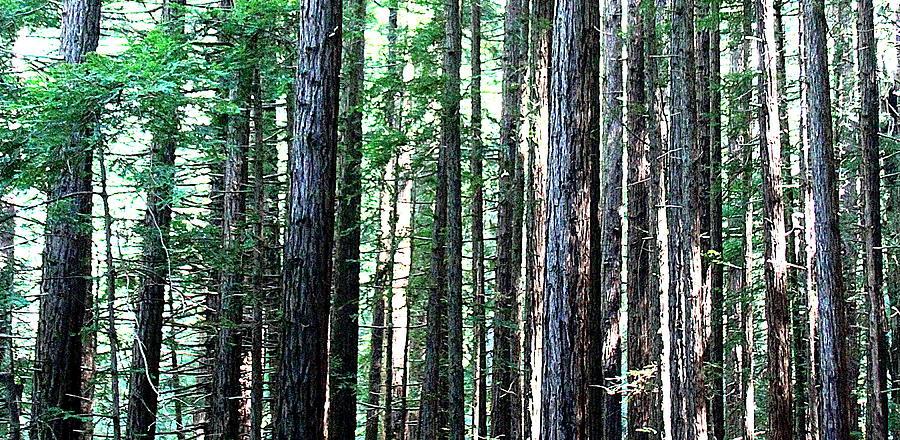 Nature Photograph - Redwoods 2 by Greg Thiemeyer