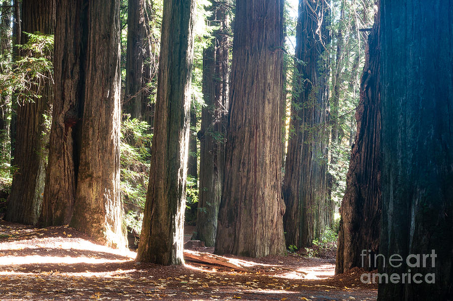 Redwoods Photograph - Redwoods 2.2843 by Stephen Parker