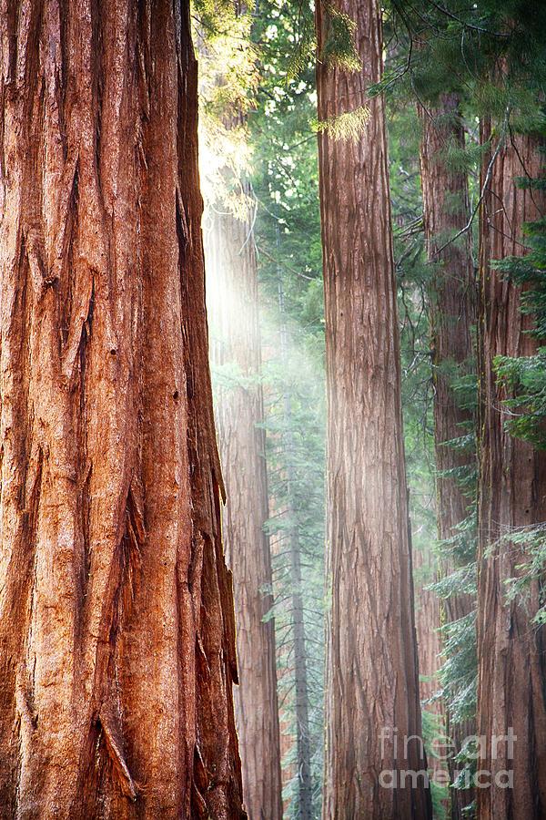 Redwood Photograph - Redwoods In Yosemite by Jane Rix
