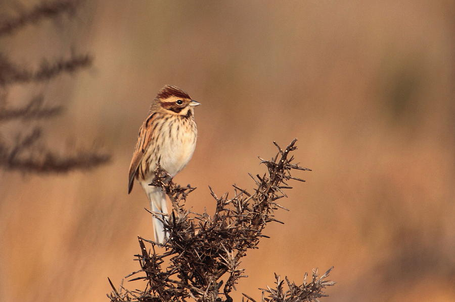 Reed Bunting Photograph by Peter Skelton