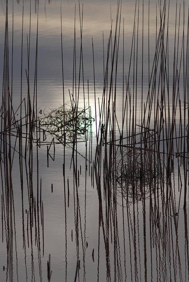Reeds Photograph - Reed Reflection 3 by T C Brown