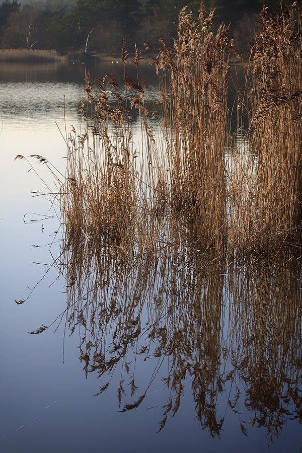 Pond Photograph - Reed Reflections by Shirley Mitchell