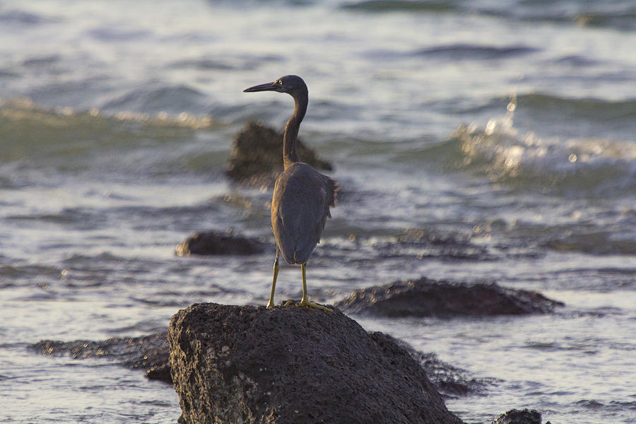 Top-end Photograph - Reef Egret by Douglas Barnard