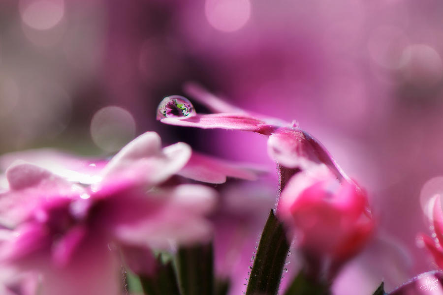 Water Drop Photograph - Reflecting On Pink by Lisa Knechtel