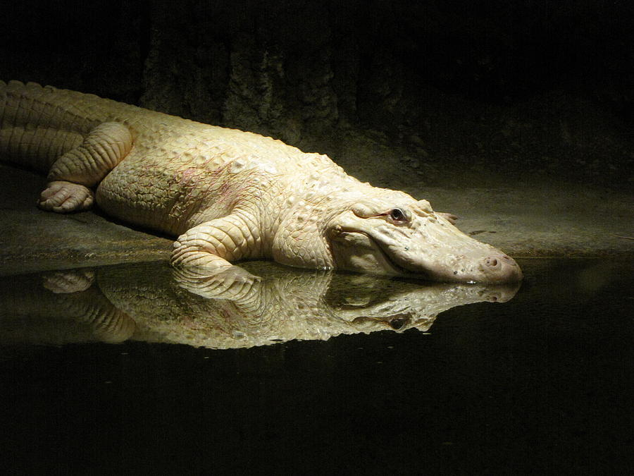 Alligator Photograph - Reflection by Beth Vincent