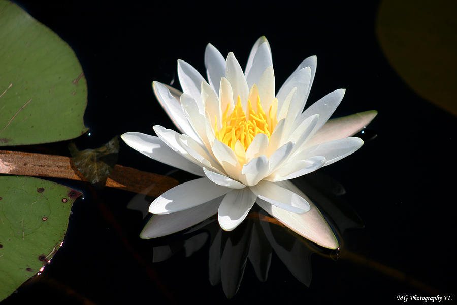 Lily Photograph - Reflection  by Marty Gayler