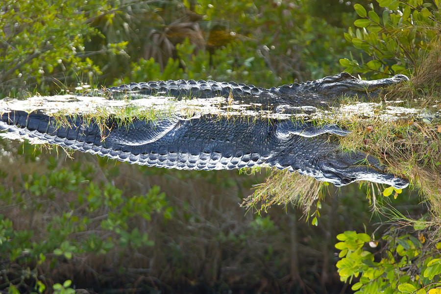 Alligator Photograph - Reflection by Wild Expressions Photography
