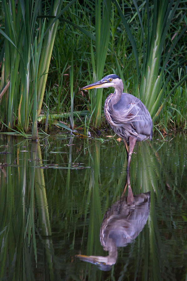 Blue Heron Photograph - Reflections - Great Blue Heron  by Doug Underwood