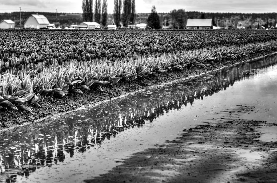 Tulips Photograph - Reflections In Black And White by Brian Xavier