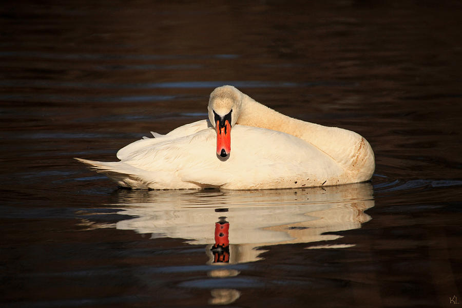 Swan Photograph - Reflections Of A Swan by Karol Livote