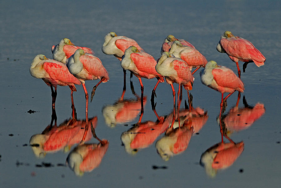 Roseate Spoonbill Photograph - Reflections by Stefan Carpenter