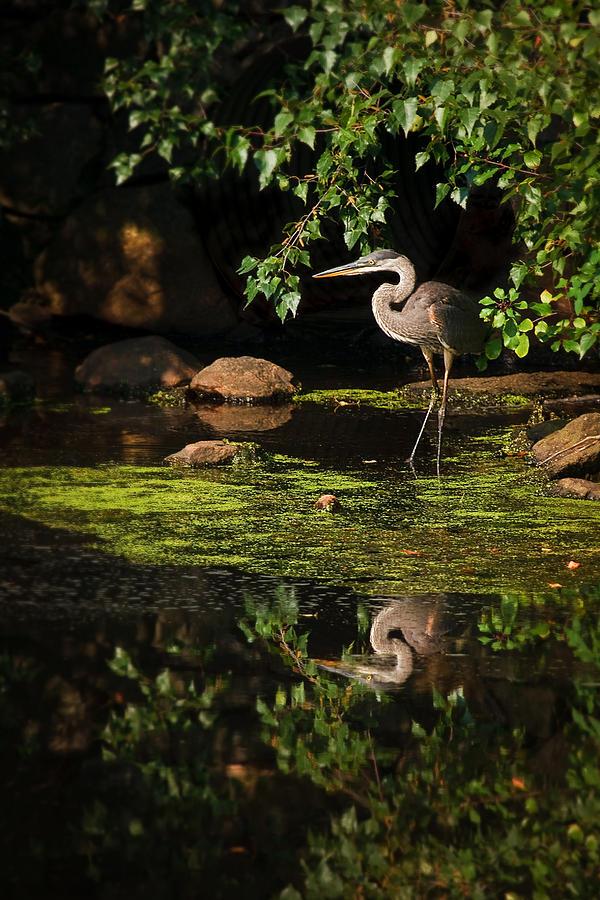 Ardea Herodias Photograph - Reflective Heron by Sylvia J Zarco