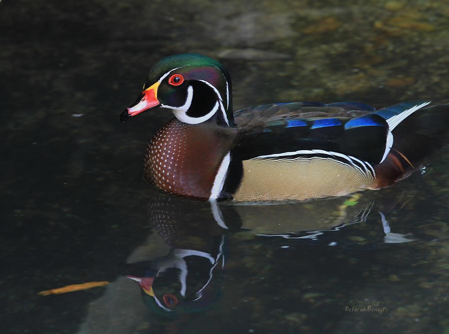 Wood Duck Photograph - Reflective Wood Duck by Deborah Benoit