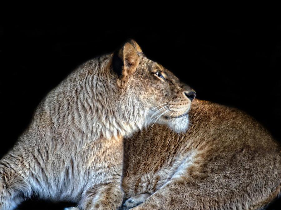 Regal Lioness Photograph