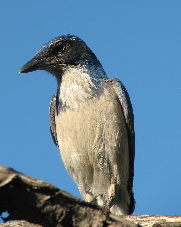 Western Scrub Jay Photograph - Regal Western Scrub Jay by Patricia Barmatz