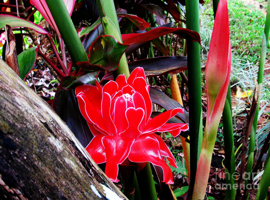 Flowers Photograph - Regular Ginger Flower by Tina M Wenger