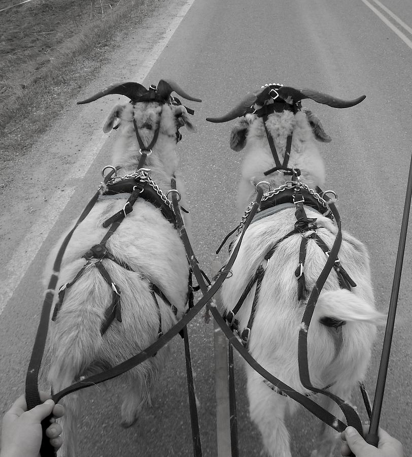 Goat Photograph - Reins In Hand by Ishana Ingerman