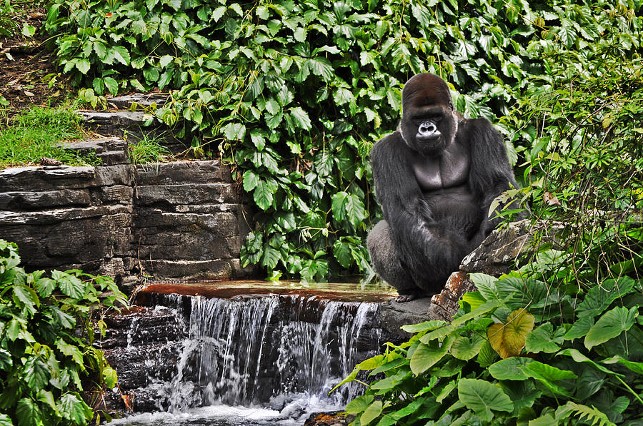 Gorilla Photograph - Relaxation Time by Rachael Milovich
