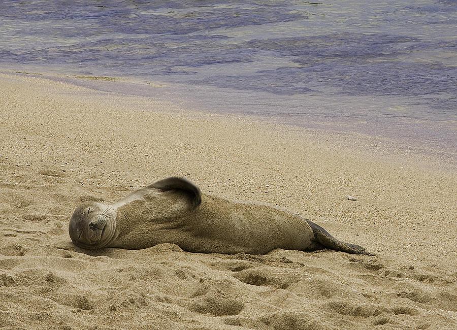 Hawaiian Seal Photograph - Relaxing by Joanna Madloch