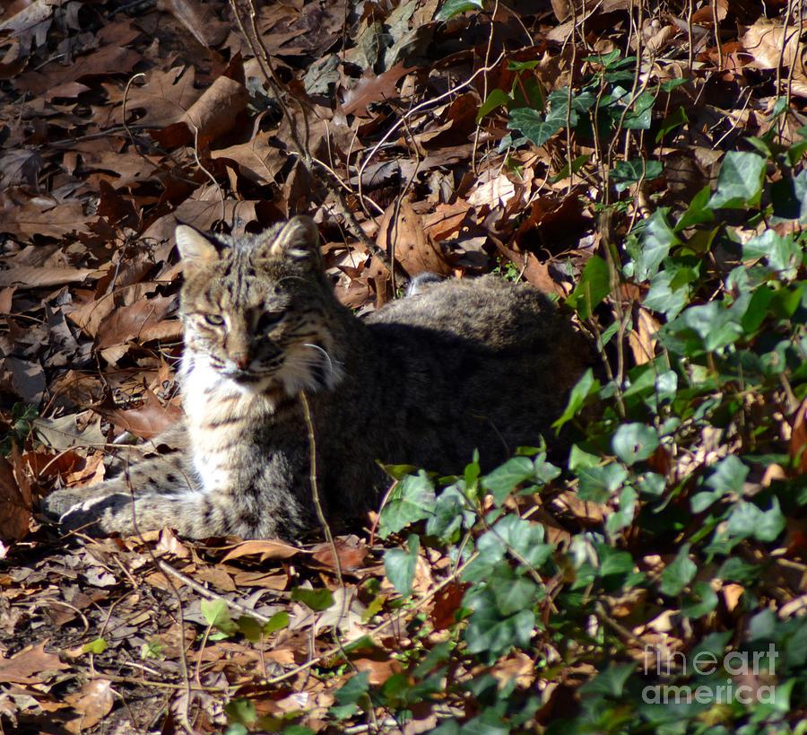 Wildlife Photograph - Relaxing Male Bobcat by Eva Thomas