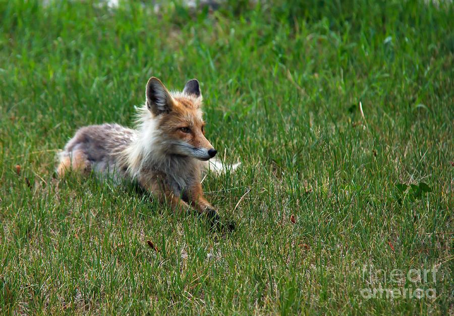 Vulpes Vulpes Photograph - Relaxing Red Fox by Robert Bales