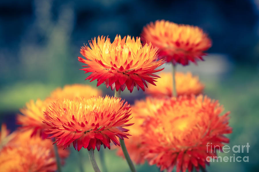 Everlasting Strawflower Photograph - Release My Voice by Sharon Mau