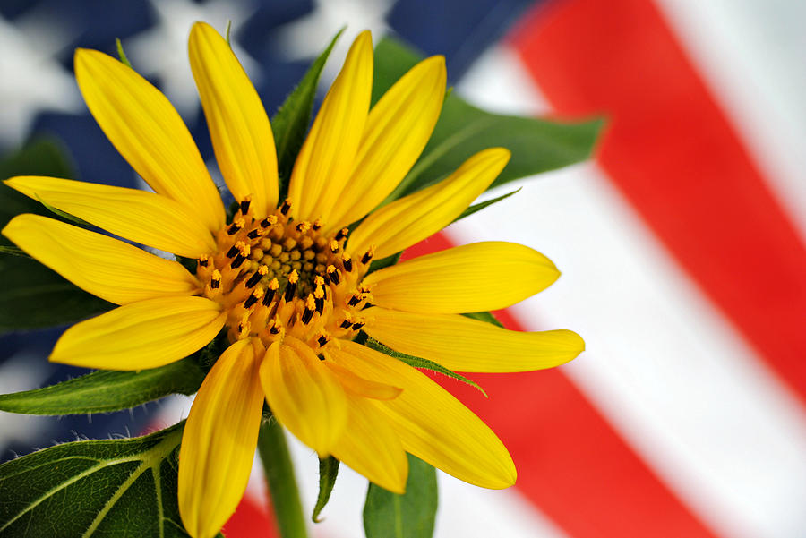 Sunflower Photograph - Remembrance by Kelly Nowak