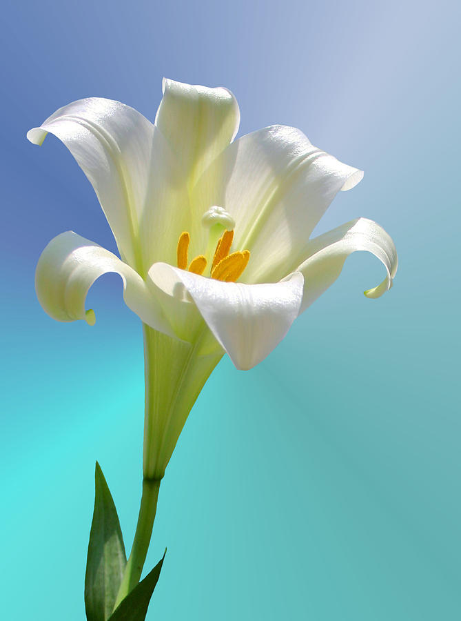 Lily Photograph - Remembrance by Kristin Elmquist