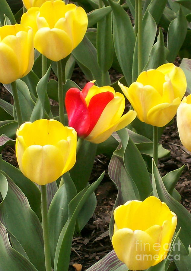 Invitation Photograph - Renegade Tulip by Laurie Eve Loftin