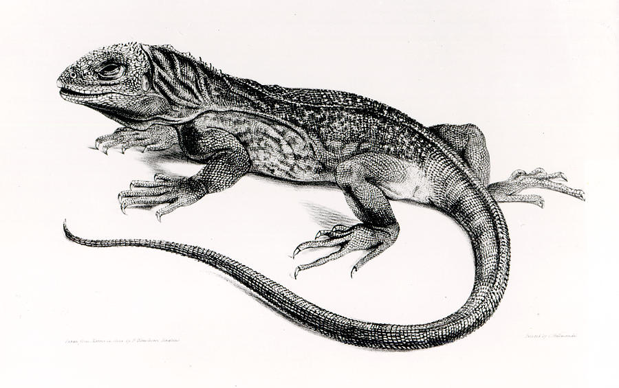 Lizard Painting - Reptile by English School