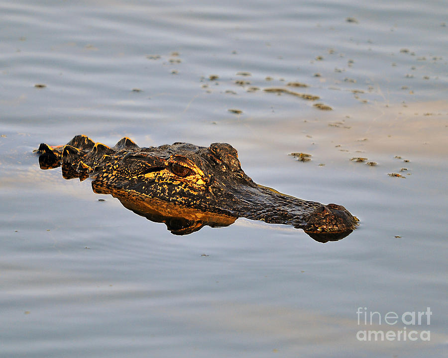Alligator Photograph - Reptile Reflection by Al Powell Photography USA