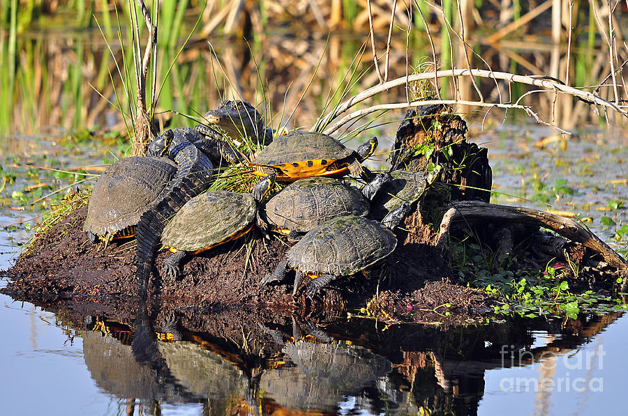 Turtle Photograph - Reptile Refuge by Al Powell Photography USA